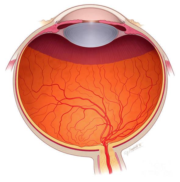 Photograph - Eye Anatomy by John M Daugherty