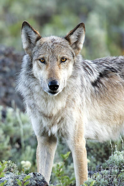 Dixon Photograph - Eye Contact With A Gray Wolf by Deby Dixon