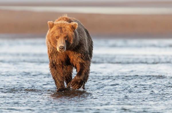 Born In The Usa Photograph - Eye Level View Of Brown Bear In Morning by David & Shiela Glatz Www.glatznaturephoto.com