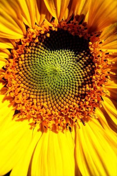 Photograph - Eye Of A Sunflower by David Matthews