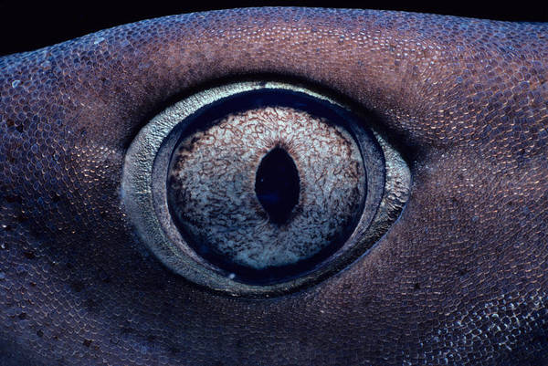 Triaenodon Obesus Photograph - Eye Of Whitetip Reef Shark by Jeff Rotman