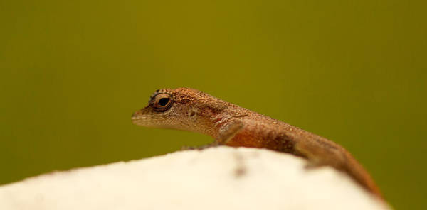 Gecko Wall Art - Photograph - Eye See You by Shane Holsclaw
