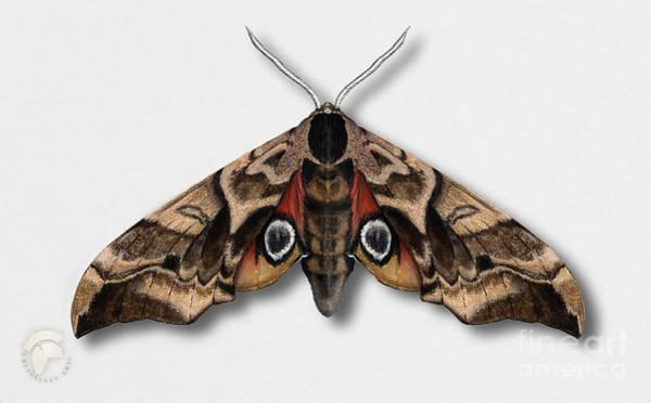 Painting - Eyed Hawk-moth Smerinthus Ocellata - Sphinx Demi-paon - Sphinx Ocelle - Esfinge Ocelada - Semipavon by Urft Valley Art