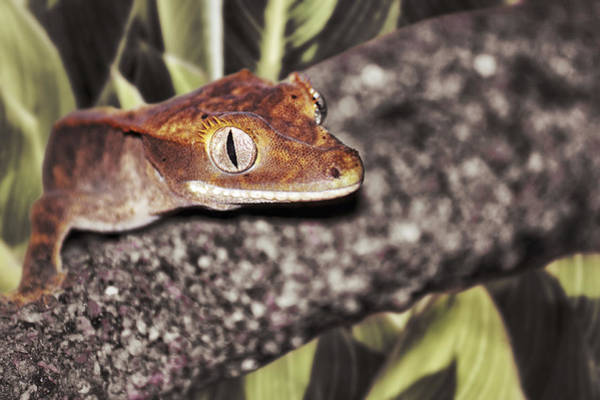 Photograph - Eyelash-crested Gecko by Jason Politte