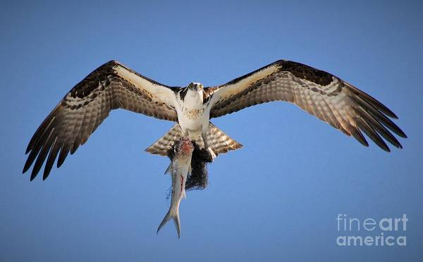 River Hawk Photograph - Eye's In The Sky by Quinn Sedam