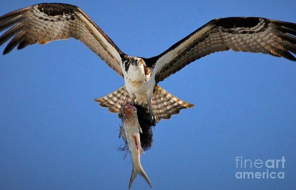 River Hawk Photograph - Eye's In The Wing's by Quinn Sedam
