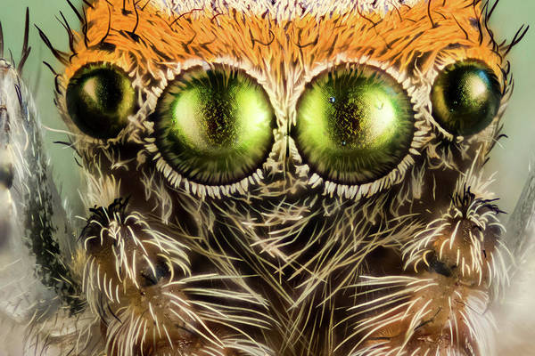 Wall Art - Photograph - Eyes Of A Jumping Spider by Nicolas Reusens/science Photo Library