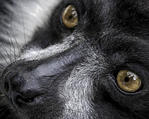 Photograph - Eyes Of The Lemur by Chris Boulton