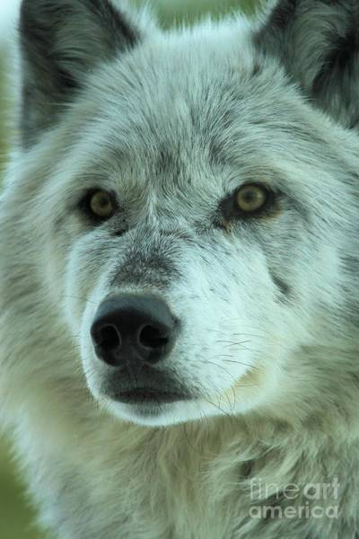 Photograph - Eyes Of The Wolf by Adam Jewell