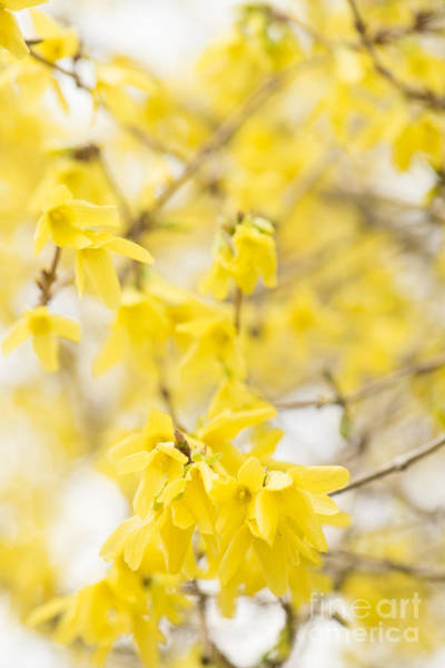 Wall Art - Photograph - Fabulous Forsythia by Anne Gilbert