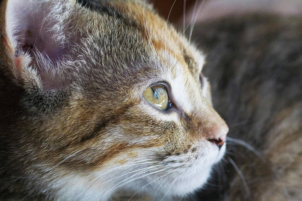 Tortoiseshell Photograph - Face Of Domestic Shorthaired by Piperanne Worcester