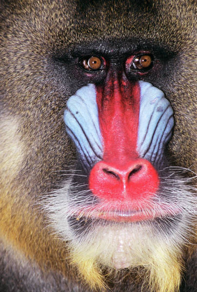 Nigeria Wall Art - Photograph - Face Of Male Mandrill Baboon Mandrillus by Animal Images