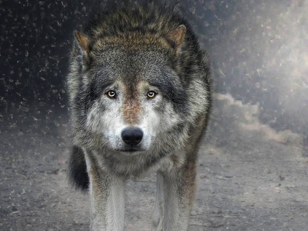 Canis Lupus Photograph - Face To Face With The Wolf by Joachim G Pinkawa