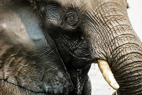 African Elephant Photograph - Facial Detail Of An African Elephant by Peter Chadwick