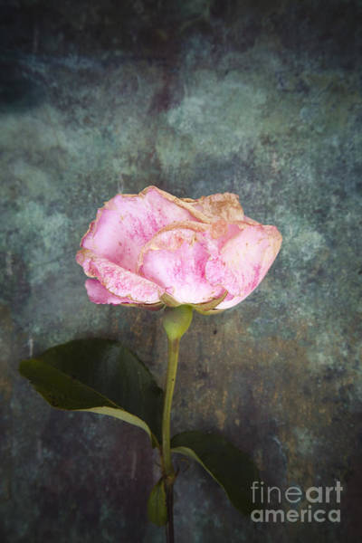 Photograph - Faded Beauty by Maria Heyens
