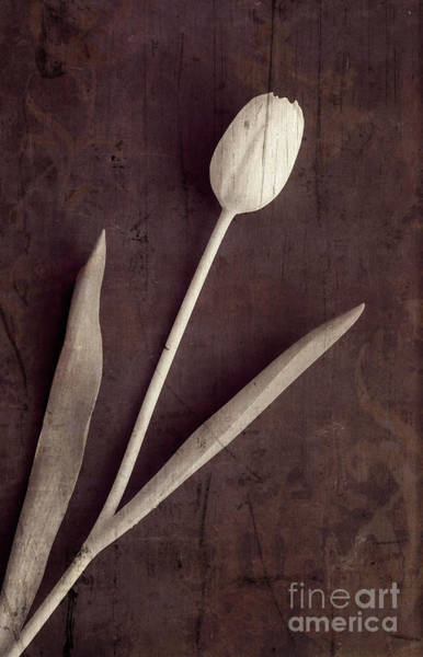 Valentines Photograph - Faded Memories Single White Tulip by Edward Fielding