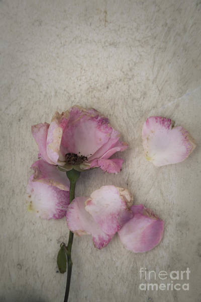 Photograph - Faded Rose by Maria Heyens