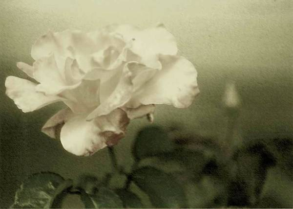 Photograph - Faded Rose by Mary Wolf