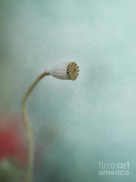 Seed Pods Photograph - faded summer I by Priska Wettstein