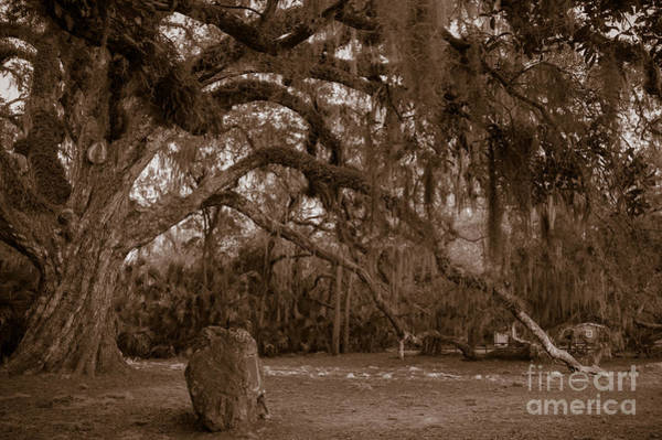 Photograph - Fairchild Oak by Kathi Shotwell
