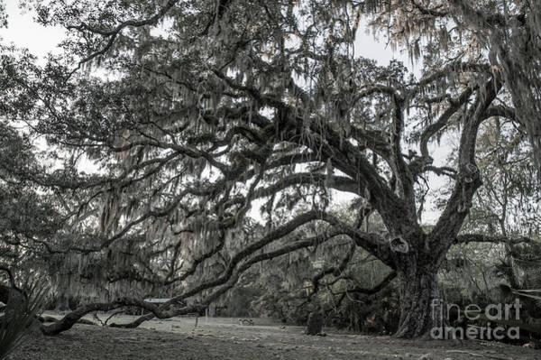 Photograph - Fairchild Oak - Profile by Kathi Shotwell