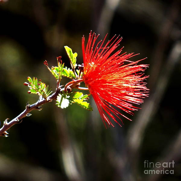 Photograph - Fairy Duster by Marilyn Smith