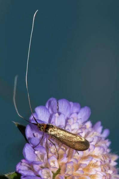 Wall Art - Photograph - Fairy Longhorn Moth On A Flower by Dr. John Brackenbury/science Photo Library