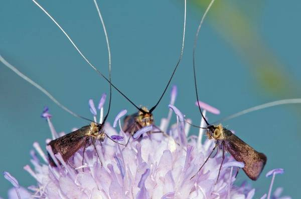 Wing Back Photograph - Fairy Longhorn Moths On A Flower by Dr. John Brackenbury/science Photo Library