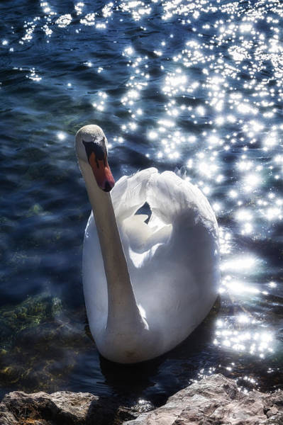 Photograph - Fairy Swan by Raffaella Lunelli