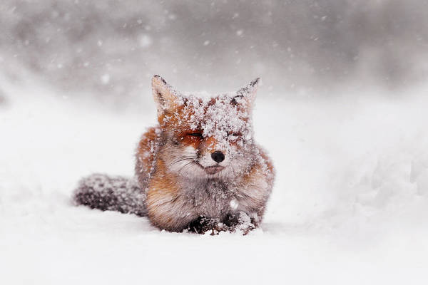 Winter Photograph - Fairytale Fox II by Roeselien Raimond