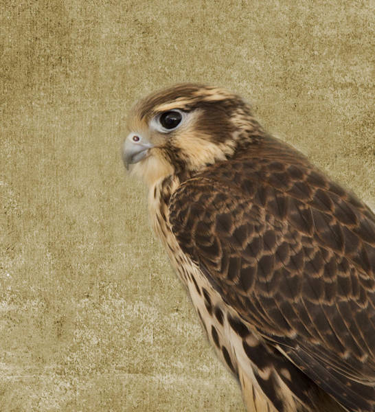 Wall Art - Photograph - Falcon 2 by Rebecca Cozart