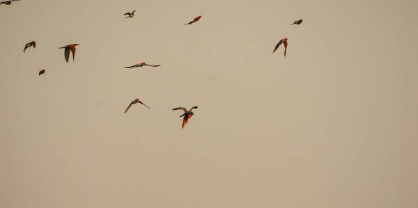 Free Dive Wall Art - Photograph - Falcon Attack 2 by Alistair Lyne