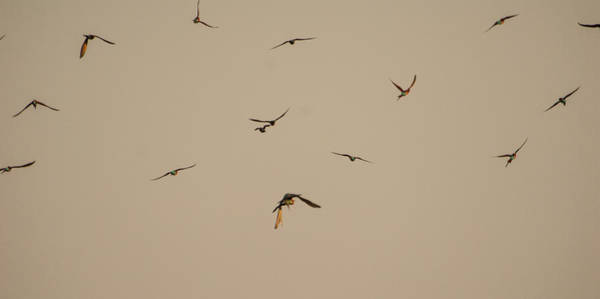 Free Dive Wall Art - Photograph - Falcon Attack 3 by Alistair Lyne