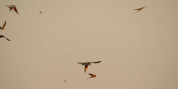 Free Dive Wall Art - Photograph - Falcon Attack by Alistair Lyne