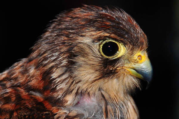 Peregrine Photograph - Falcon by Jenny Rainbow