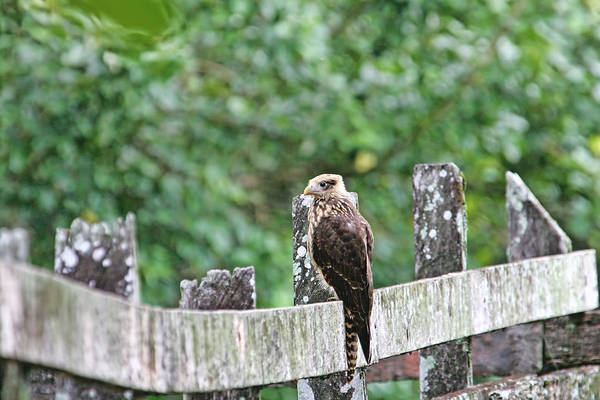 Photograph - Falcon On A Fence by Peggy Collins