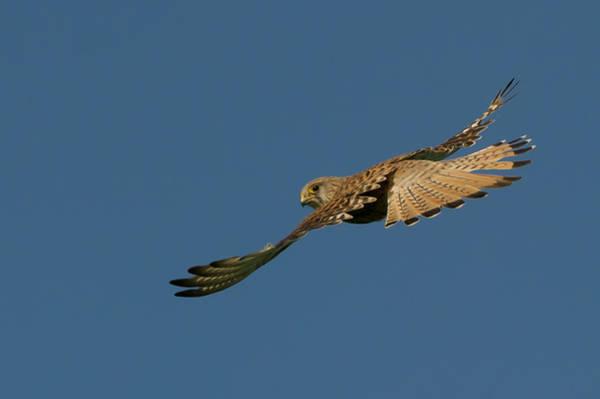 Photograph - Falcon by Torbjorn Swenelius