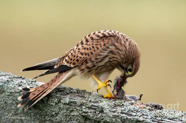 Photograph - Falcon's Breakfast  by Torbjorn Swenelius