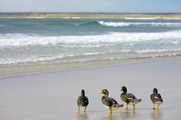 Wall Art - Photograph - Falkland Flightless Steamer Ducks by Steve Allen/science Photo Library
