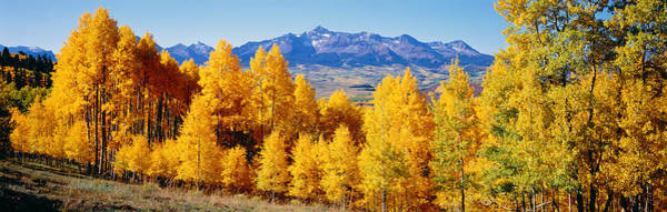 Thicket Photograph - Fall Aspen Trees Telluride Co by Panoramic Images