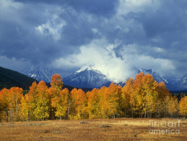 Photograph - Fall Color Storm Aspens Tetons Grand Tetons National Park Wyoming by Dave Welling