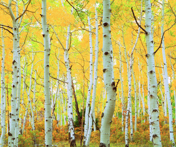 Photograph - Fall Colors Of Aspen Trees, Rocky by Danita Delimont