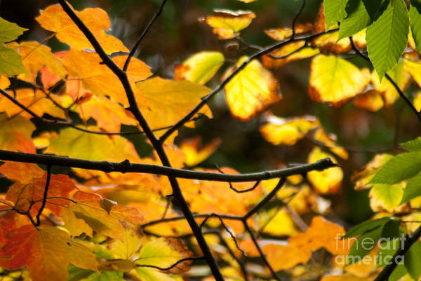 Acer Saccharum Photograph - Fall Colors by Optical Playground By MP Ray