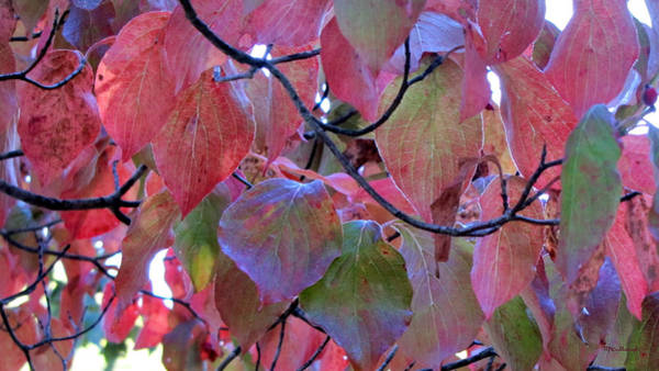 Photograph - Fall Dogwood Leaf Colors 2 by Duane McCullough