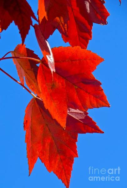 Photograph - Fall Flames by Pamela Clements