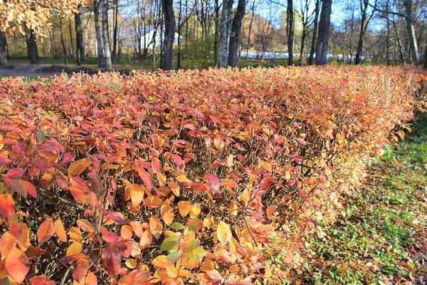 Sestroretsk Photograph - Fall Hedge by Christine Rivers