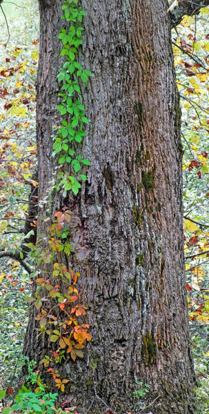Photograph - Fall Ivy On Poplar Tree Trunk by Duane McCullough