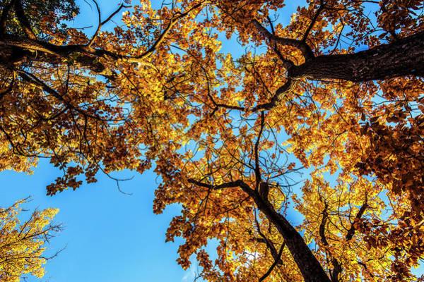 Fall Landscape Of Cottonwood Trees Art Print