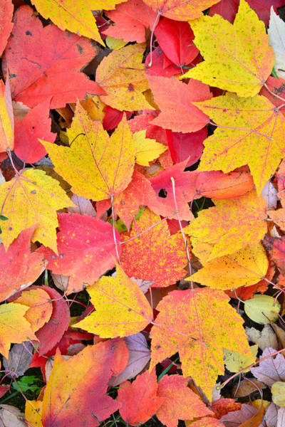 Photograph - Fall Leave Pallet by Ray Mathis