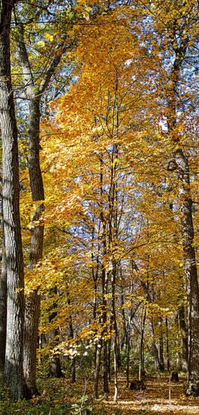 Photograph - Fall Maple -  by Steven Ralser